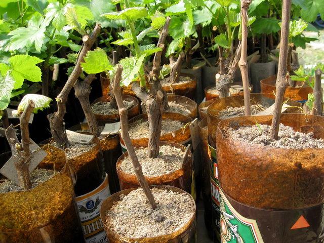 Как сажать зелёный виноград 77