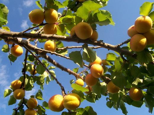 Абрикос: посадка, выращивание, обрезка - strgid ru