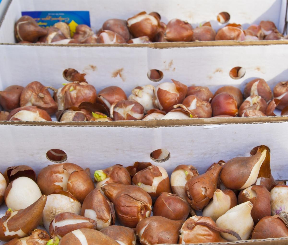 Как в домашних условиях хранить луковицы гладиолусов