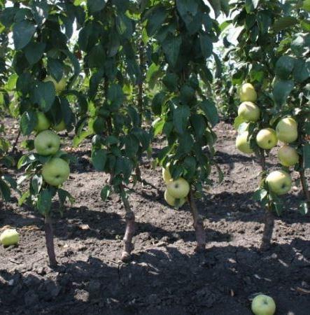 Кто сажал колоновидные яблони 228