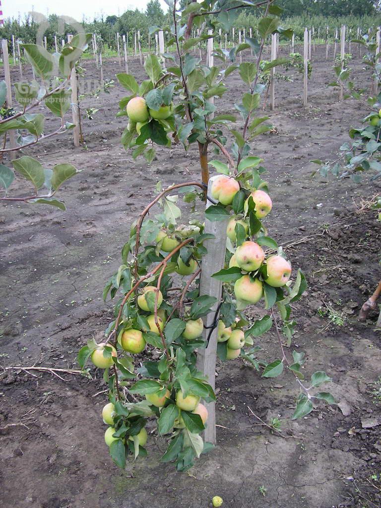 Виды, типы и сорта яблонь с фото и описанием. На каком
