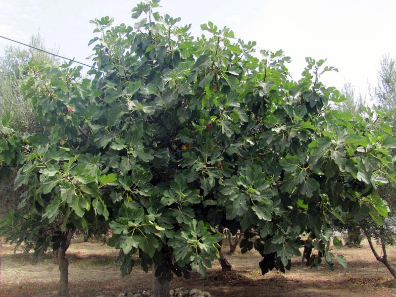 как выглядит инжир дерево фото