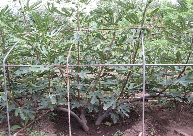 Выращивание в теплице фейхоа 58