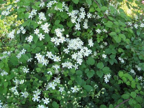 Клематис с мелкими белыми цветами уход и выращивание 45