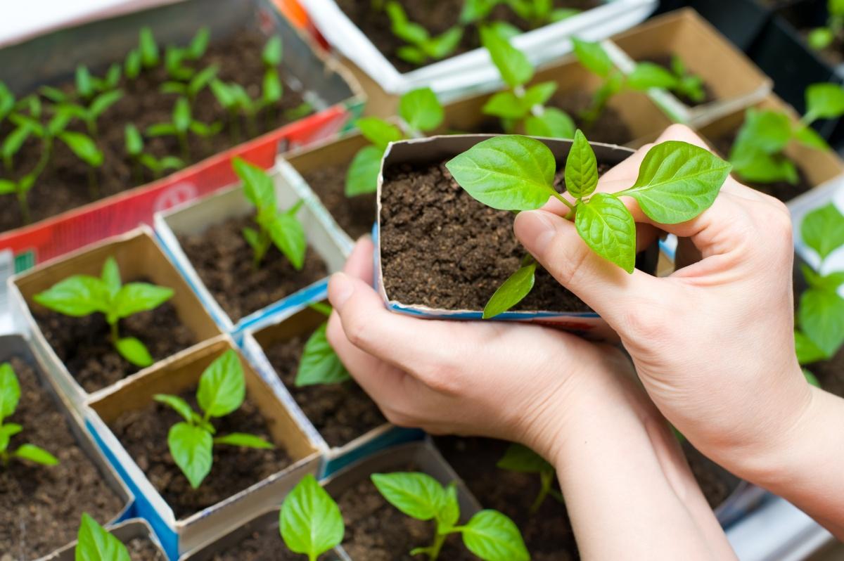 Как вырастить рассаду перцы в домашних условиях