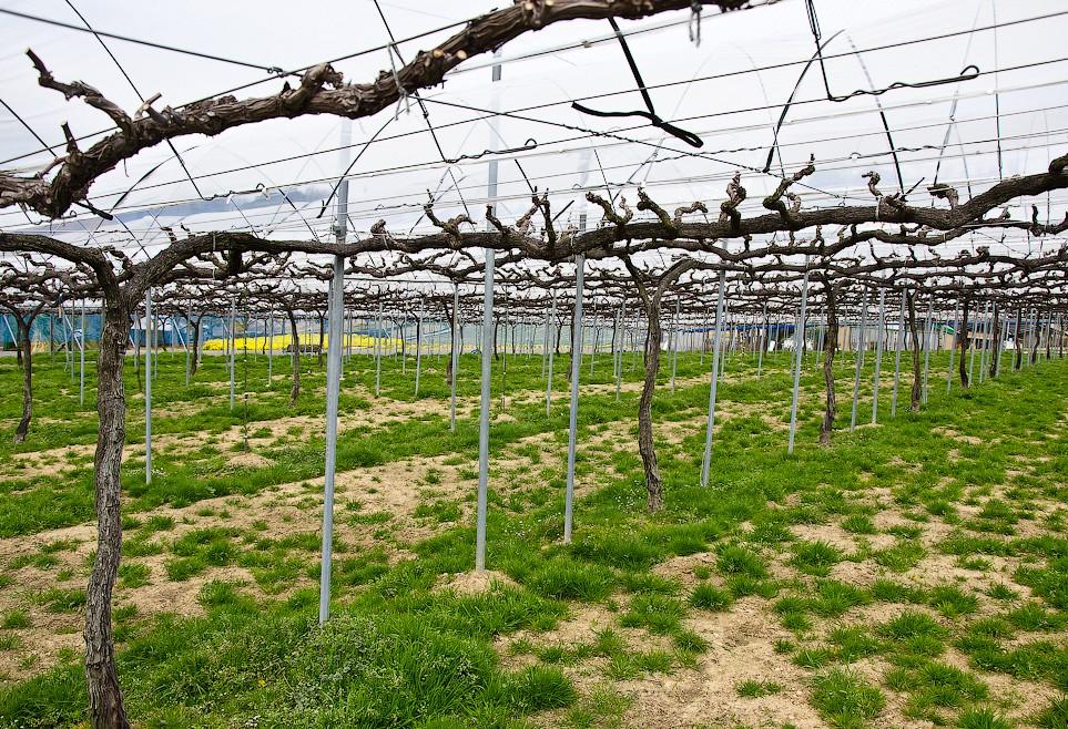 решетки для винограда фото