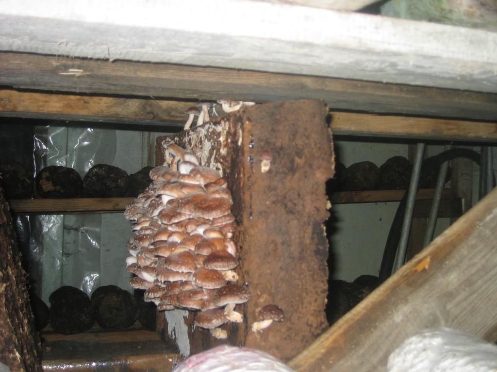 Выращивание шиитаке в домашних условиях для новичков
