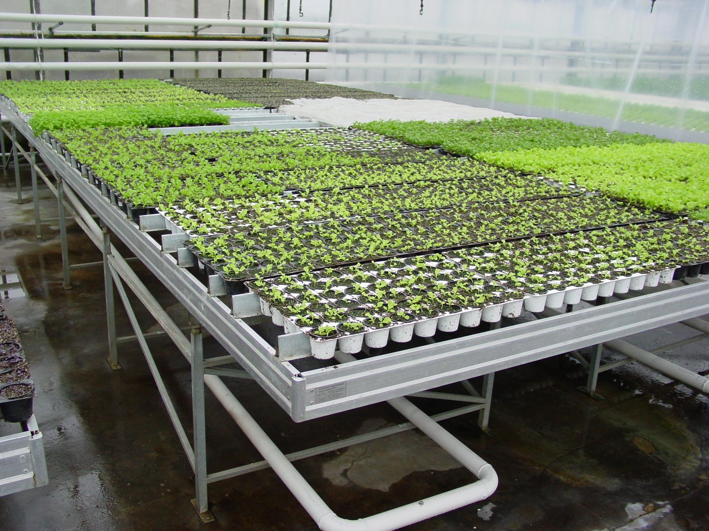 Когда выращивать рассаду в теплице 381