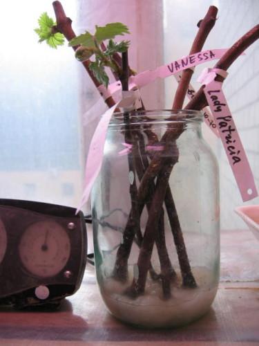 Вырастить виноград из чубуков в домашних условиях