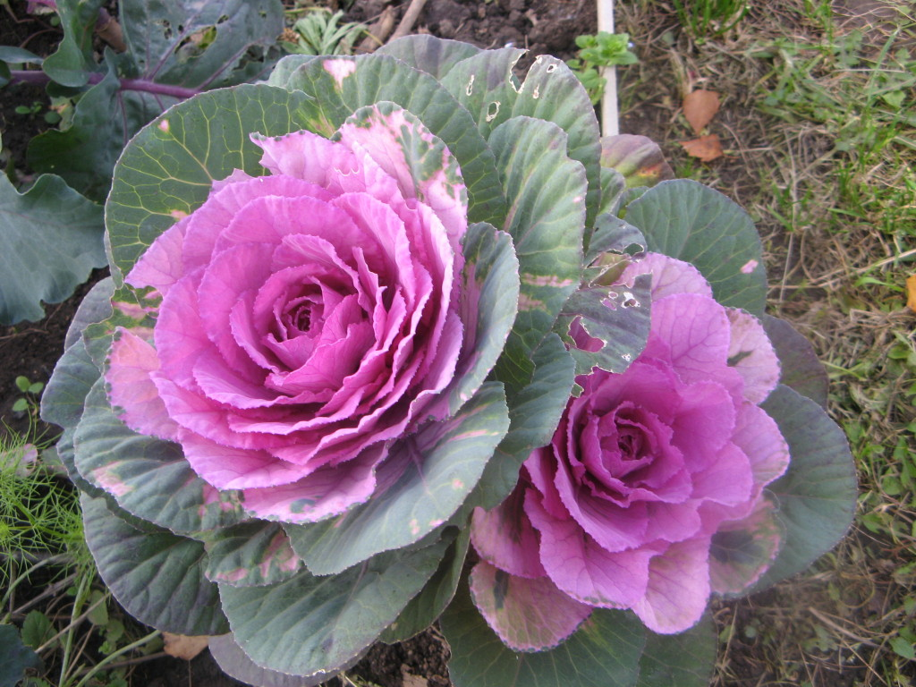 Декоративная капуста цветы название и фото