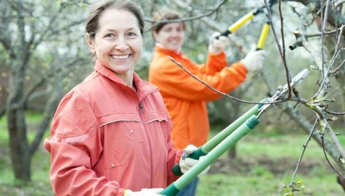Обрезка яблони весной: схема,