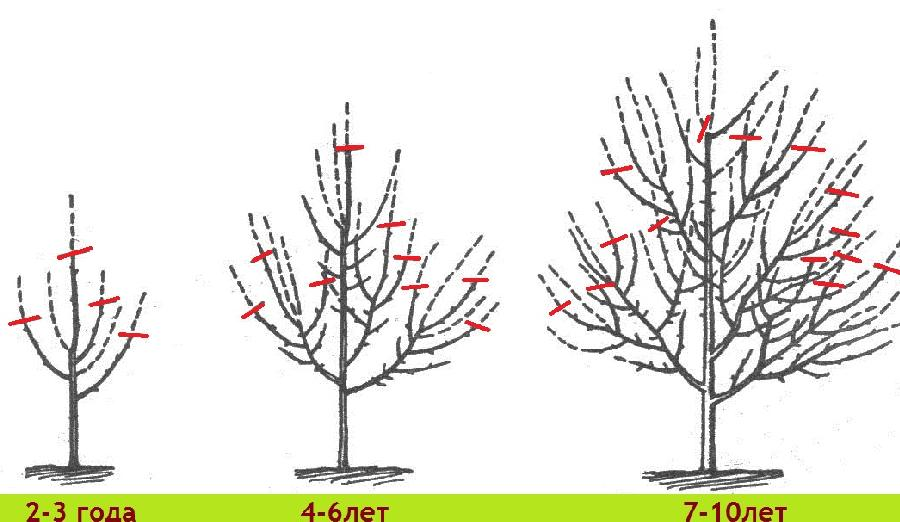 Когда обрезка яблонь весной схема