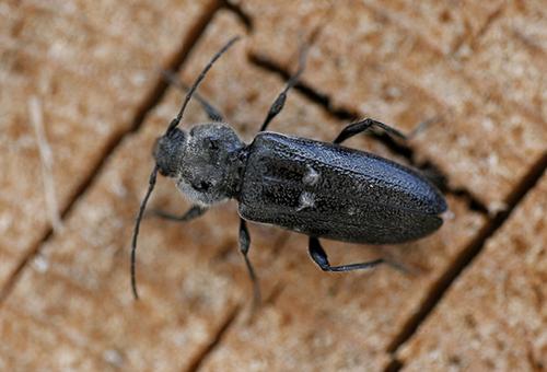 Короед жук борьба в домашних условиях