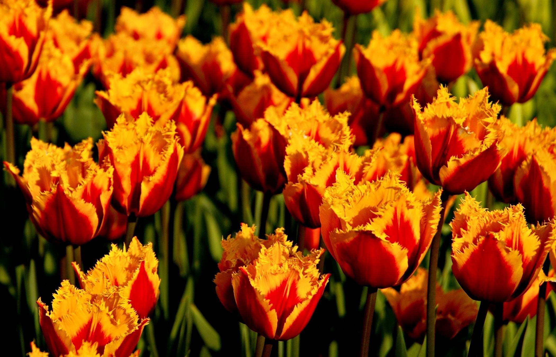 Махровые тюльпаны цветов